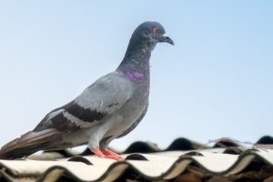 Pigeon Pest, Pest Control in Hornsey, N8. Call Now 020 8166 9746