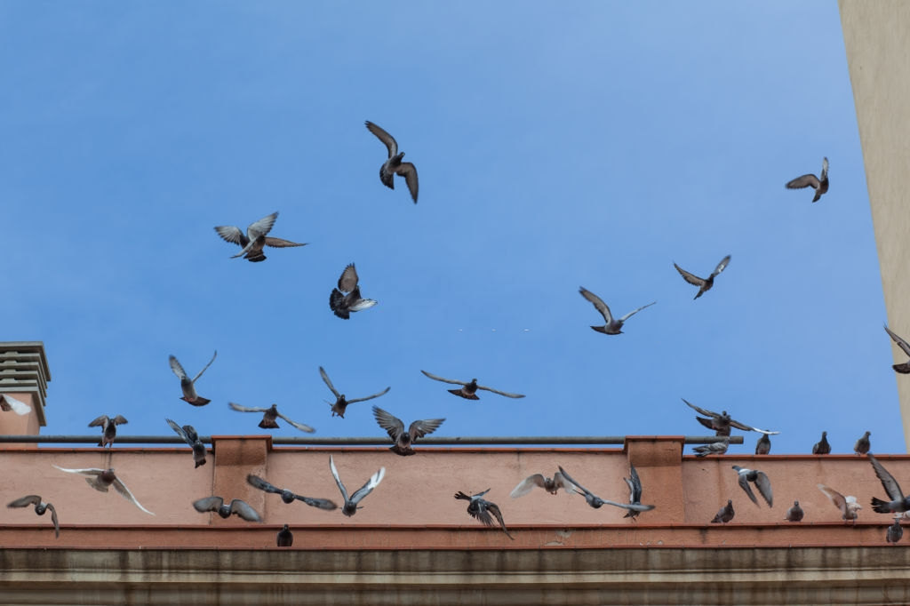 Pigeon Control, Pest Control in Hornsey, N8. Call Now 020 8166 9746