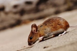 Mice Exterminator, Pest Control in Hornsey, N8. Call Now 020 8166 9746